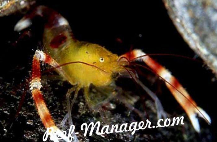Stenopus Cyanoscelis